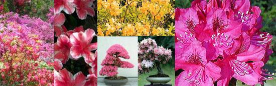 Kumpulan bunga Azalea
